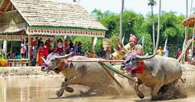 Barapan Kebo Tradisi Warisan Leluhur Khas Sumbawa